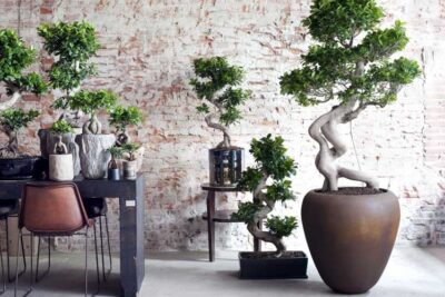 Ficus Ginseng – un bonsai luxuriant si robust