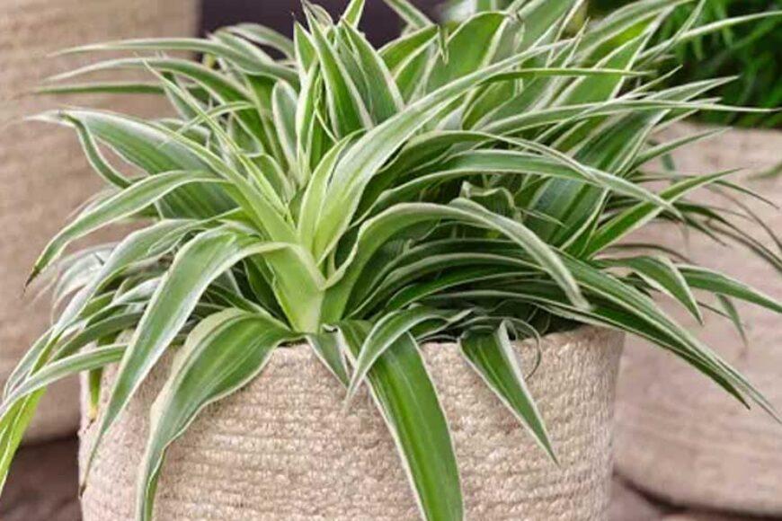 Plantele care purifica aerul cuceresc lumea cu minunatele lor nuante