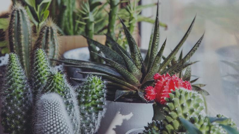 Planta suculentă recunoscută pentru proprietățile sale medicinale de peste 2000 ani